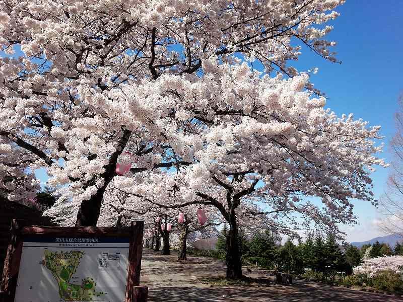 渋川市総合公園の「桜」 4月