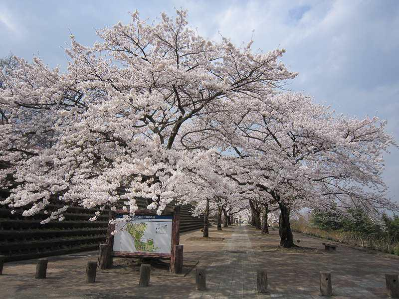 「渋川市総合公園の「桜」 見頃です!」